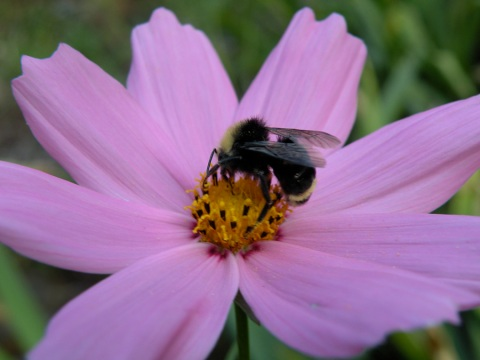 Bumble bee drinking Cosmos nectar