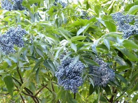 Berries of Elder