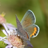Steider Studios. Eastern Tailed Blue Butterfly