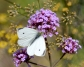 Steider Studios.  White Butterfly on Verbena with Dill