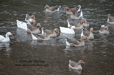 Steider:  Geese on the Klickitat River