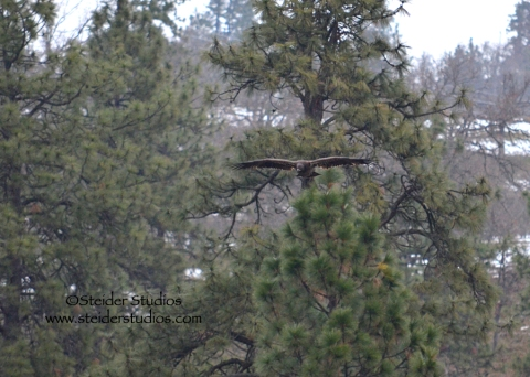 Steider:  Youthful Bald Eagle in Flight