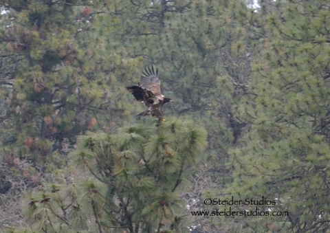 Steider:  Youthful Bald Eagle Landing in a Tree Along the Klickitat River