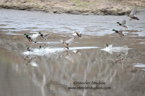 Steider:  Ducks Landing on the Klickitat River