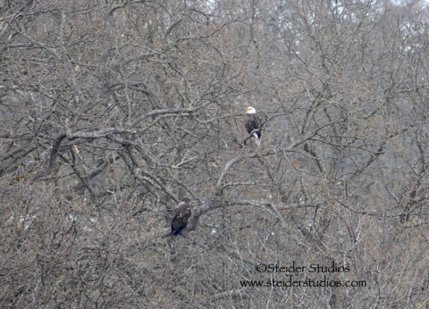Steider:  Another Young Eagle Lands in Tree
