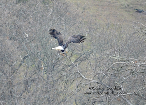 Steider:  Adult Bald Eagle Landing Above the Klickitat