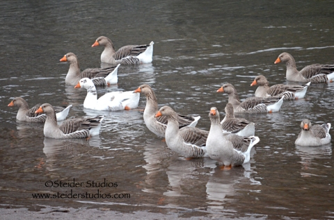 Steider:  Geese Swimming to Shore