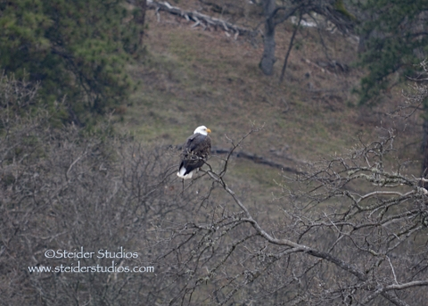 Steider:  Bald Eagle on Tree Branch