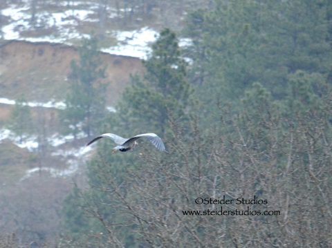 Steider:  Heron Flying Away