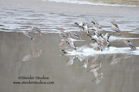 Steider:  Ducks Coming in for a Landing