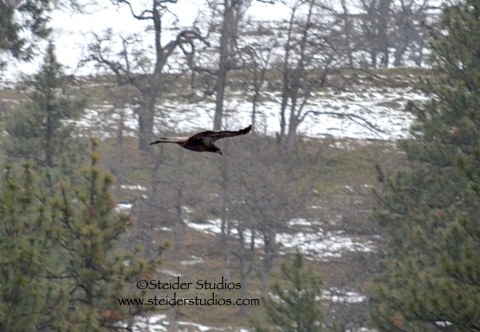 Steider:  Young Eagle in Flight