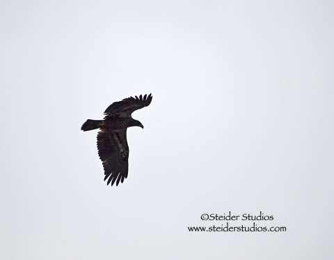 Steider:  Young Eagle Flying Overhead