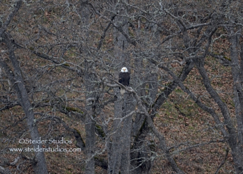 Steider:  Bald Eagle Sitting in Tree