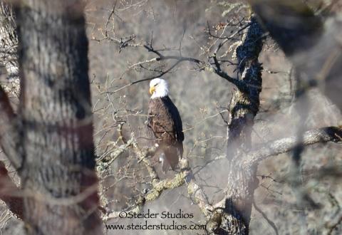 Steider Studios:  Eagle in Tree