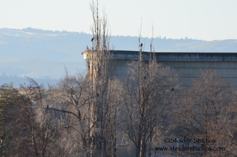 Steider Studios:  Eagles at The Dalles Dam
