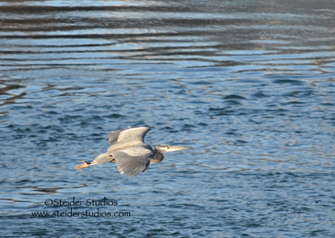 Steider Studios:  Heron in Flight