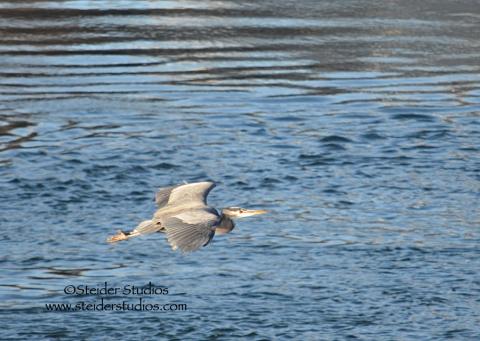 Steider Studios:  Heron in Flight