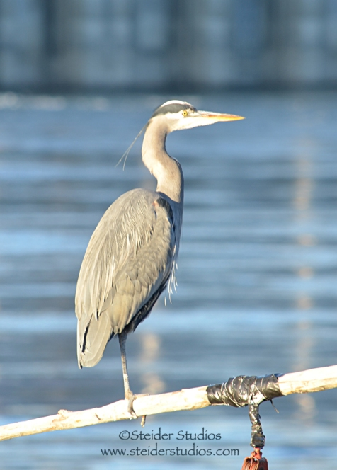 Steider Studios: Heron Perched Near The Dalles Dam