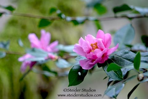 Steider Studios:  Japanese Garden. Pink Flower
