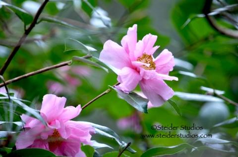 Steider Studios:  Japanese Garden. Pink Flower 2