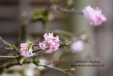 Steider Studios:  Japanese Garden. Pink Flowers 3