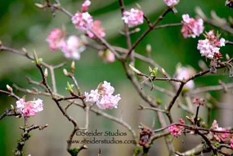 Steider Studios:  Japanese Garden. Pink Flowers 4