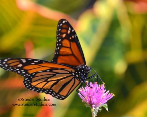 Steider Studios:  Monarch Butterfly