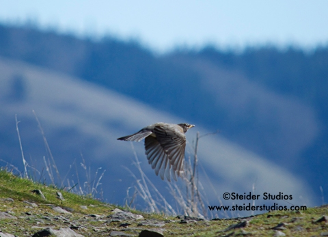 Steider Studios:  Robin in Flight
