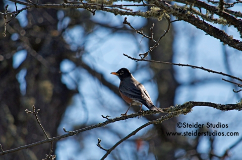 Steider Studios:  Robin in Tree