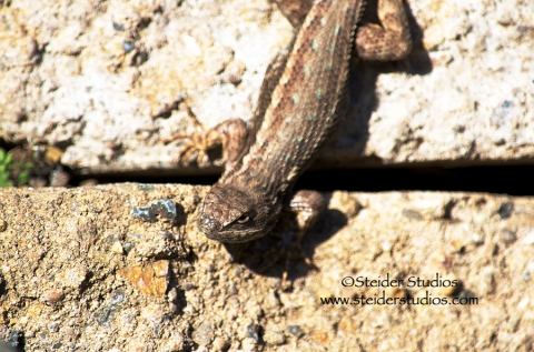 Steider Studios:  Blue Bellied Lizard