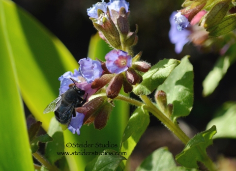 Steider Studios:  Bumble Bee in Lungwort
