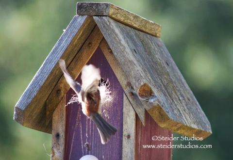Steider Studios:  Chickadee Building Nest