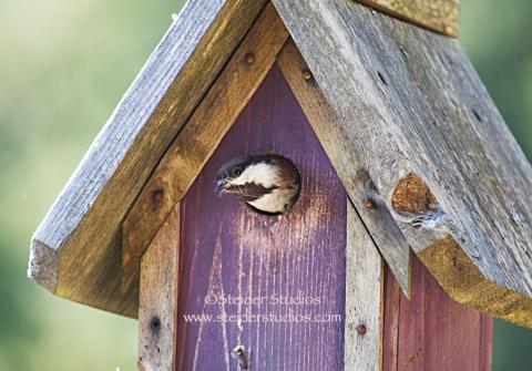 Steider Studios:  Chickadee in Birdhouse
