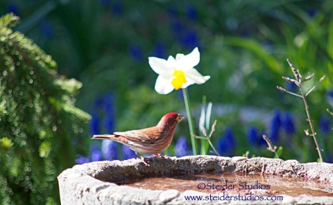 Steider Studios:  Finch in Birdbath