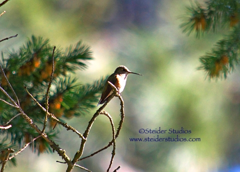 Steider Studios:  Hummer with Fir Trees in the background.