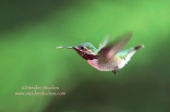 Calliope Hummingbird in Flight