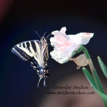 Steider Studios.Swallowtail on Double Daffodil