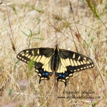Steider Studios: Oregon Swallowtail at Rowena Crest