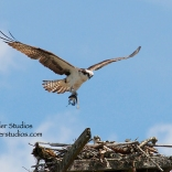 Steider Studios: Osprey at Wind River