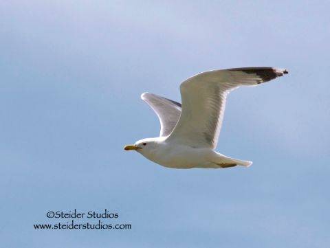 Steider Studios:  Seagull over Columbia River
