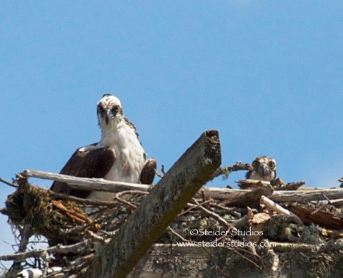 Steider Studios:  Two Ospreys in a Nest