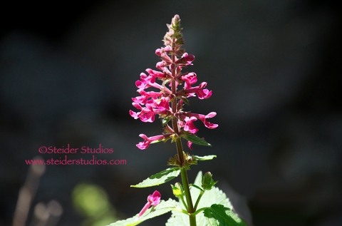 Steider Studios:  Wildflower at Cooks Waterfall