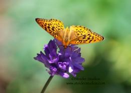 Steider Studios:  Fritillary Butterfly