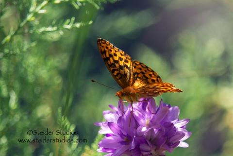 Steider Studios:  Fritillary Butterfly on Wild Lily