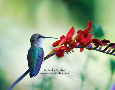 Steider Studios: Hummingbird Resting on Crocosmia