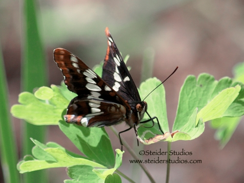Steider Studios: Northern Checkerspot Butterfly