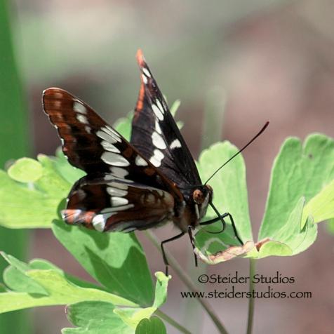 Steider Studios: Northern Checkerspot Butterfly