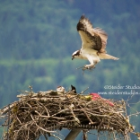 Steider Studios.Osprey Building Nest 5.19.13