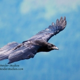 Steider Studios: Raven in Flight 7.2.13