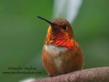 Steider Studios: Rufous Hummingbird